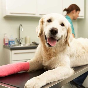 Labrador dog in surgery with bandaged foot